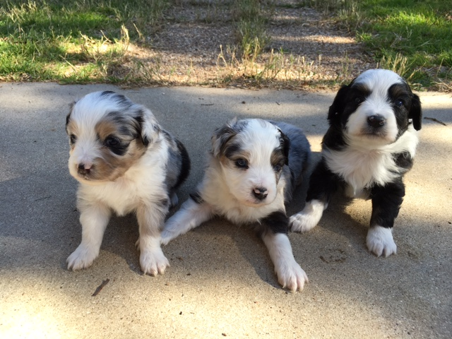 Welcome To Vaughans Toy Aussies Vaughans Toy Aussies