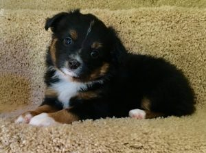 Bonnie - Black Tri Female - AVAILABLE $650