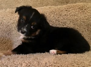 Bonnie - AVAILABLE - $700 Black Tri Female