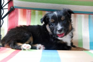 Bonnie - AVAILABLE Black Tri Female $750