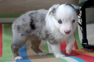 Elsa - AVAILABLE Blue Merle Female with 2 Blue Eyes $1,000