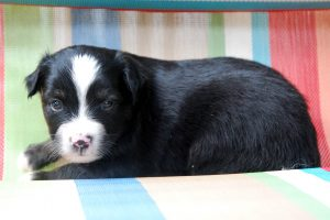 Franz - AVAILABLE Black Tri Male $650