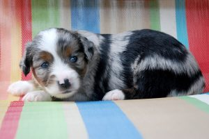 Hanz - AVAILABLE Blue Merle Male with 2 Blue Eyes Currently $900