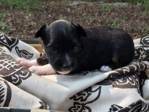 Minnie - Black Tri Female - AVAILABLE $750
