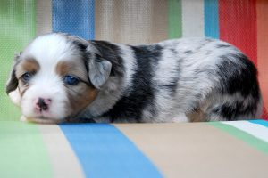 Westley - AVAILABLE Blue Merle Male with 2 Blue Eyes Currently $900