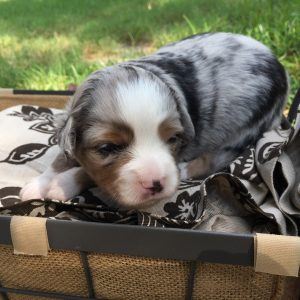 Westley Again - AVAILABLE - Blue Merle Male = $900